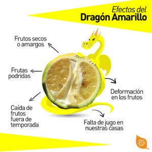 efectos del hlb - dragón amarillo